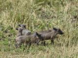 Desert Warthog Piglets, (Phacochoerus Aethiopicus), Masai Mara Game Reserve, Kenya, Africa Photographic Print by Adam Jones