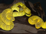 Variable Bush Vipers (Atheris Squamigera), Captive Photographic Print by Michael Kern