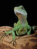 Chinese Water Dragon (Physignathus Cocincinus), Captive Fotodruck von Michael Kern