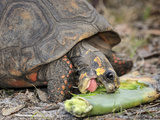 Redfoot Tortoise (Chelonoidis Carbonaria) Eating, Captive Photographic Print by Michael Kern