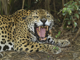 Jaguar with Open Mouth, Showing its Sharp Teeth (Panthera Onca), Belize Photographic Print by Thomas Marent