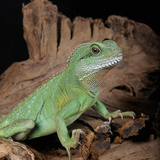Chinese Water Dragon (Physignathus Cocincinus), Captive Papier Photo par Michael Kern