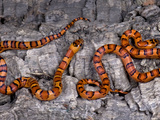 Thayeri Kingsnakes (Lampropeltis Thayeri), USA, Captive Photographic Print by Michael Kern