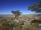 Clanwilliam Cedar Is One of the Largest of the Fynbos Trees, Growing Up to 20 Meters Photographic Print by Tim Hauf