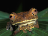 Treefrog Head, Amacayacu National Park, Colombia Photographic Print by Thomas Marent