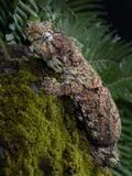 Gargoyle Gecko (Rhacodactylus Auriculatus), Captive Photographic Print by Michael Kern