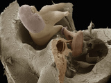 Human Middle Ear Anatomy Showing the Malleus, Incus, and Stapes Bones Photographic Print by Richard Kessel