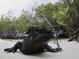 Marine Iguana (Amblyrhynchus Cristatus) Sunning Shortly after Emerging from the Ocean Photographic Print by David Fleetham