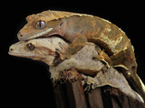 Crested Geckos (Rhacodactylus Ciliatus) Mating, Captive Photographic Print by Michael Kern