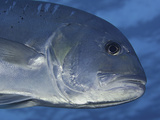 The White Ulua Is also known as a Giant Trevally or Jack (Caranx Ignobilis) Photographic Print by David Fleetham