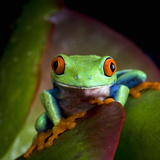Red-Eyed Treefrog (Agalychnis Callidryas), Captive Photographic Print by Michael Kern