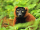 Red Ruffed Lemur (Varecia Rubra), Masoala National Park, Madagascar Photographic Print by Thomas Marent
