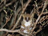 Brown Mouse Lemur (Microcebus Rufus), Berenty Private Reserve, Madagascar Photographic Print by Thomas Marent