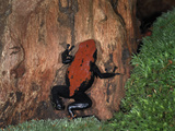 Splashback Poison Dart Frog (Dendrobates Galactonotus) Captive, Native to Brazil Photographic Print by Michael Kern
