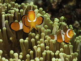 Clown Anemonefish in a Sea Anemone (Amphiprion Ocellaris), Philippines Photographic Print by David Fleetham