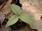 Persistent Trillium Leaves, Trillium Persistens, on the Forest Floor Photographic Print by Joseph Fontenot