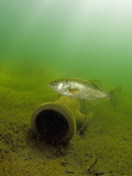 Male Largemouth Bass (Micropterus Salmoides) Near a Submerged Pipe During the Nesting Season Photographic Print by Michael Johnson