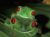 Red-Eyed Tree Frogs Mating (Agalychnis Callidryas), Cahuita National Park, Costa Rica Photographic Print by Thomas Marent
