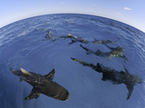 A Fisheye Lens View of Lemon Sharks (Negaprion Brevirostris) Bahamas, Atlantic Ocean Photographic Print by David Fleetham