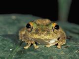 Moss Frog (Rhacophorus), Sabah, Borneo, Malaysia Photographic Print by Thomas Marent