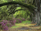 Stately Live Oaks, Quercus Virginiana, and Blooming Azaleas, Magnolia Plantation, Charleston, Sc Photographic Print by Adam Jones