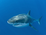 Great White Shark (Carcharodon Carcharias), Guadalupe Island, Baja California, Mexico Photographic Print by Michael Johnson