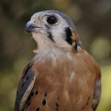 American Kestrels (Falco Sparverius) are Native to North and South America, Captive Photographic Print by Michael Kern