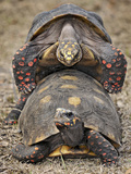 Redfoot Tortoise (Chelonoidis Carbonaria) Mating, Captive Photographic Print by Michael Kern