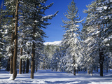 Snow-Covered Jeffrey Pines, Pinus Jeffreyi, Inyo National Forest, Eastern Sierra Nevada Mountains Photographic Print by Adam Jones