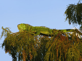Escaped Pet Green Iguana (Iguana Iguana) Living in Wakodahathcee Wetlands, Delray Beach, Florida Photographic Print by Adam Jones