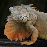 Albino Iguana (Iguana Iguana), Captive Fotodruck von Michael Kern