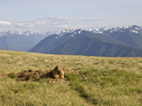 An Alert Olympic Marmot at its Den Opening on Hurricane Ridge, Olympic National Park, Washington Photographic Print by Tim Hauf