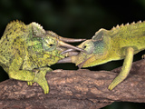 Two Jackson's Chameleons (Chamaeleo Jacksonii) Fighting, Captive Photographic Print by Michael Kern