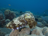 Reef Cuttlefish (Sepia), Milne Bay, Papua New Guinea Photographic Print by Richard Herrmann