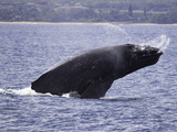Humpback Whale Breaching (Megaptera Novaeangliae), Hawaii, USA Photographic Print by David Fleetham