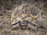Leopard Tortoise (Geochelone Pardalis Babcocki), Captive Photographic Print by Michael Kern