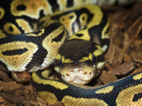 Ball Python (Python Regius), Captive Photographic Print by Michael Kern