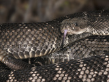 Santa Catalina Rattlesnake (Crotalus Catalinensis), Native to Santa Catalina Island, Captive Photographic Print by Michael Kern