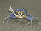 Blue Crab in Defensive Posture on a Sandy Beach, Cahuita National Park, Costa Rica Photographic Print by Thomas Marent