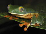Splendid Leaf Frog (Agalychnis Calcarifer), Siquirres, Costa Rica Photographic Print by Thomas Marent