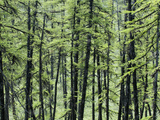 The Modern Boreal Forest, Larch Trees Photographic Print by Chris Linder