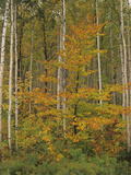 American Beech, Fagus Grandifolia, and Paper Birch, Betula Papyrifera, in the Fall Photographic Print by Adam Jones