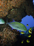 Bluefin Trevally or Jack (Caranx Melampygus) and Schooling Raccoon Butterflyfish Photographic Print by David Fleetham