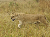 Female African Lion Driving a Male Lion Away from Cubs (Panthera Leo), Masai Mara Game Reserve Photographic Print by Adam Jones