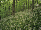 Hillside of Wild Hyacinth, Camassia Scilloides, Raven Run Nature Sanctuary, Lexington, Kentucky Photographic Print by Adam Jones