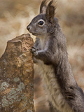 Abert's Squirrel or Tassel-Eared Squirrel (Sciurus Aberti) Is Normally All Black Photographic Print by Don Grall