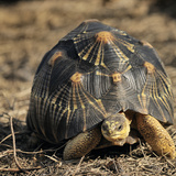 Radiated Tortoise (Astrochelys Radiata), Captive Photographic Print by Michael Kern