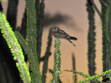 Madagascar Nightjar in the Spiny Forest (Caprimulgus Madagascariensis), Berenty Private Reserve Photographic Print by Thomas Marent