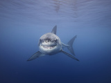 Great White Shark (Carcharodon Carcharias), Guadalupe Island, Mexico Photographic Print by David Fleetham