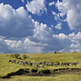Panoramic View of Burchell's Zebra (Equus Burchelli), Masai Mara Game Reserve, Kenya, Africa Photographic Print by Adam Jones